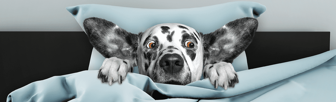 Spotted dog peaking head and paws out of pillow and blanket with surprised face.